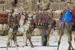 在吉萨棉金字塔背景的埃及骆驼 旅游胜地- 免版税库存图片