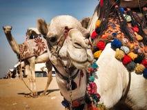 在吉萨棉金字塔,埃及的骆驼 免版税库存照片