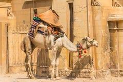 在吉萨棉金字塔,开罗的骆驼在埃及 免版税库存图片