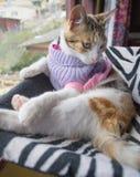 在吊床的镶边猫 库存照片