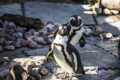 在同年龄组的美丽和滑稽的企鹅太阳 免版税图库摄影