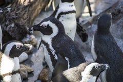 在同年龄组的美丽和滑稽的企鹅太阳 免版税库存照片