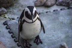 在同年龄组的美丽和滑稽的企鹅太阳 免版税库存图片