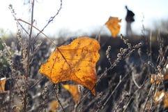 在后照光的秋天橙色白杨树叶子在荒原和男性剪影背景  免版税图库摄影