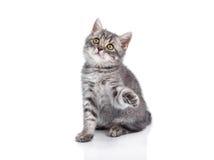 在后腿的英国小猫,唱歌 库存图片