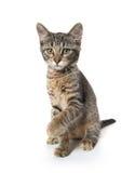 在后腿的逗人喜爱的平纹小猫 免版税库存图片