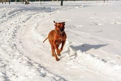 在后腿跑的狗 图库摄影