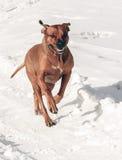 在后腿跑的狗 库存图片