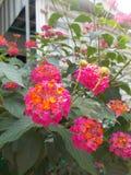 在后院的红色桃红色马樱丹属camara花 库存照片