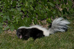 在后院草的臭鼬 免版税库存图片