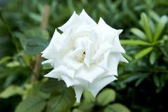 在后院装饰的白玫瑰 库存图片