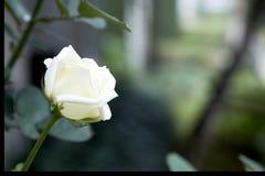 在后院装饰的白玫瑰 图库摄影