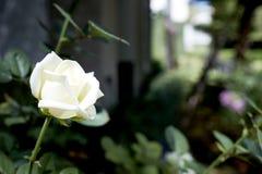 在后院装饰的白玫瑰 免版税库存图片