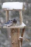在后院饲养者的蓝鸟在暴风雪 库存照片
