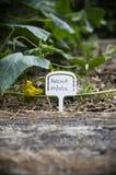 在后院庭院里种植的欧洲防风草 图库摄影