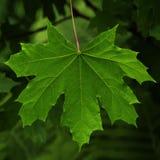 在后面光的槭树叶子 库存照片