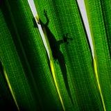 在后面照的棕榈树叶子的壁虎 免版税库存照片