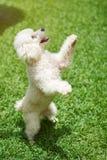 在后面爪子的白色长卷毛狗立场 图库摄影