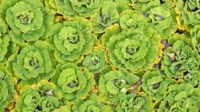 在后面的一个庭院池塘用途把绿色满江红留在的样式 免版税库存照片