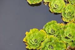 在后面的一个庭院池塘用途把绿色满江红留在的样式 免版税库存图片