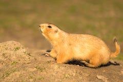 在向上看的土墩的土拨鼠 库存照片