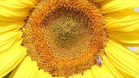 在向日葵夏天场面的蜂 股票视频