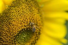 在向日葵特写镜头射击的一只蜂 免版税图库摄影