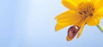 在向日葵瓣花,瓢虫的红色瓢虫在叶子o爬行 库存图片