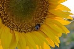 在向日葵的一只大粗野的土蜂收集花蜜 库存图片