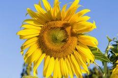 在向日葵的一只蜂 免版税库存图片
