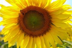 在向日葵的一只蜂 库存图片