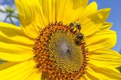 在向日葵的两只蜂蜜蜂 免版税库存照片