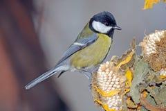 在向日葵的北美山雀 免版税库存图片