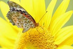 在向日葵的印地安贝母 图库摄影