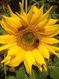 在向日葵的土蜂 免版税库存图片