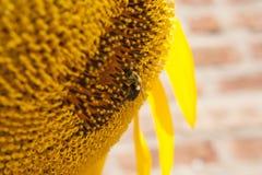 在向日葵的土蜂 图库摄影