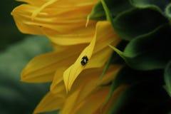在向日葵的小的臭虫 图库摄影