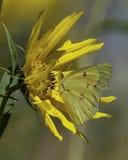 在向日葵的白蝴蝶在草甸 免版税图库摄影