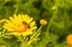 在向日葵的蜂一个五颜六色的春天风景 免版税图库摄影