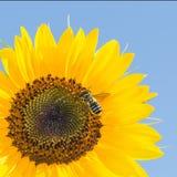 在向日葵的蜂反对天空 免版税库存图片