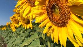 在向日葵的蜂工作在慢动作 股票视频