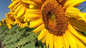 在向日葵的蜂工作在慢动作 影视素材