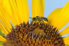 在向日葵的蜂收集花蜜的 库存图片