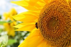 在向日葵的蜂 免版税库存图片