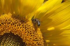 在向日葵的蜂 库存图片