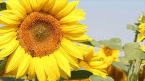 在向日葵的蜂 股票视频
