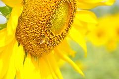 在向日葵的蜂 免版税图库摄影