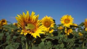 在向日葵的蜂 股票录像