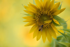 在向日葵的蜂 免版税库存照片