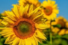 在向日葵的蜜蜂 免版税库存照片